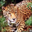 A photo of a jaguar.