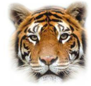 picture of a tiger