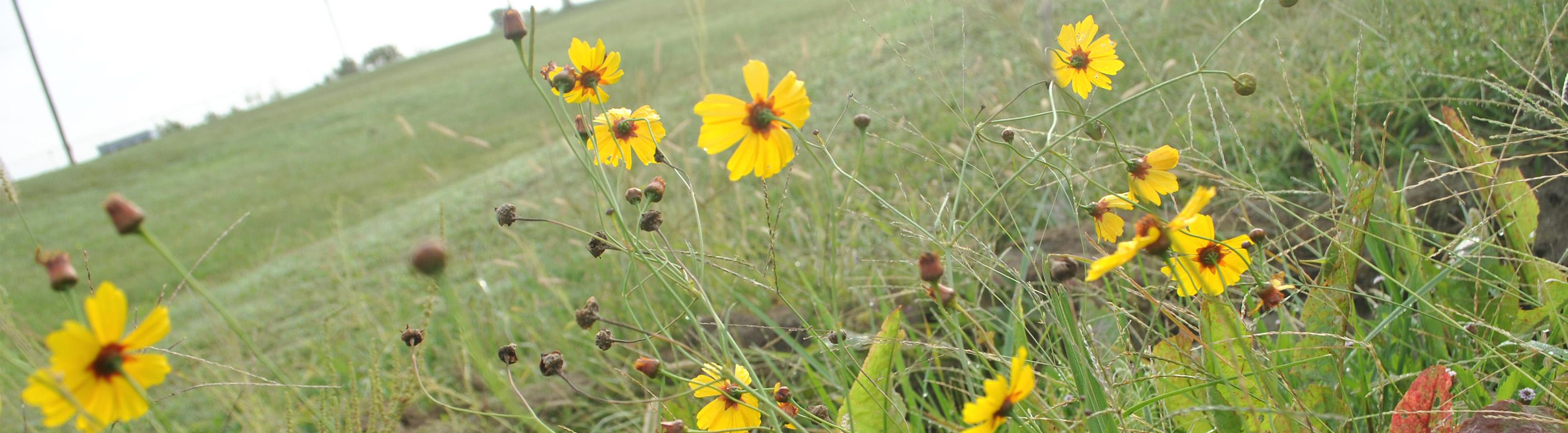Nature Photo-- Small Sunflowers