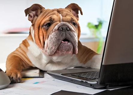 Photo of a bulldog with a laptop.