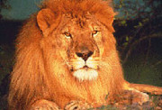 A photo of a sitting lion