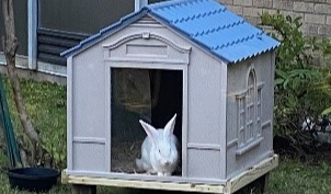 A picture of a white bunny in a small bunny-sized house.