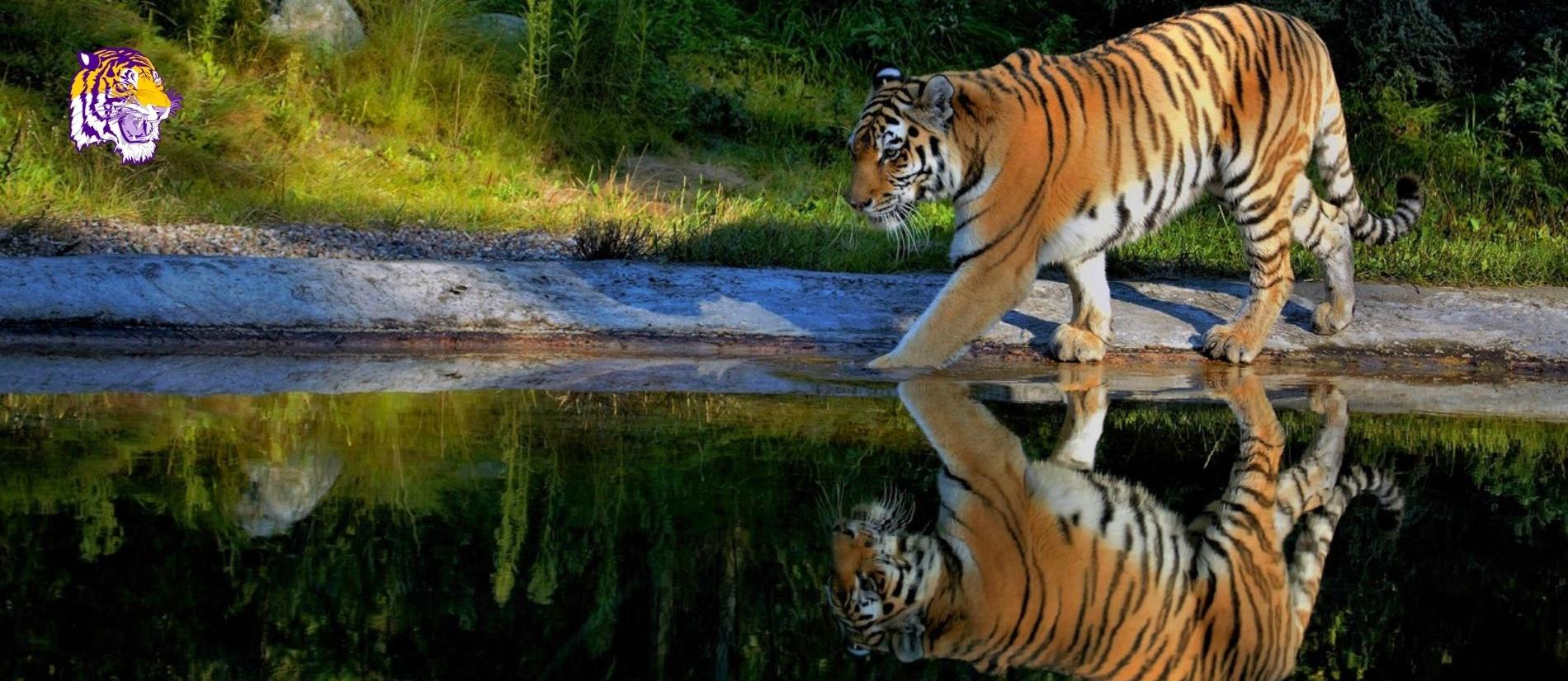 Lake Tiger