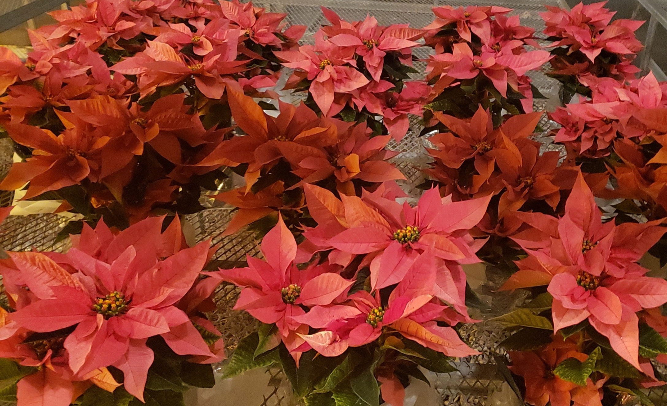 Photo of some Pink Poinsettia.