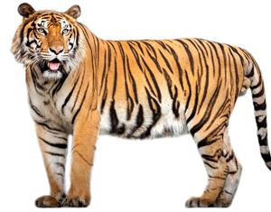 tiger edit