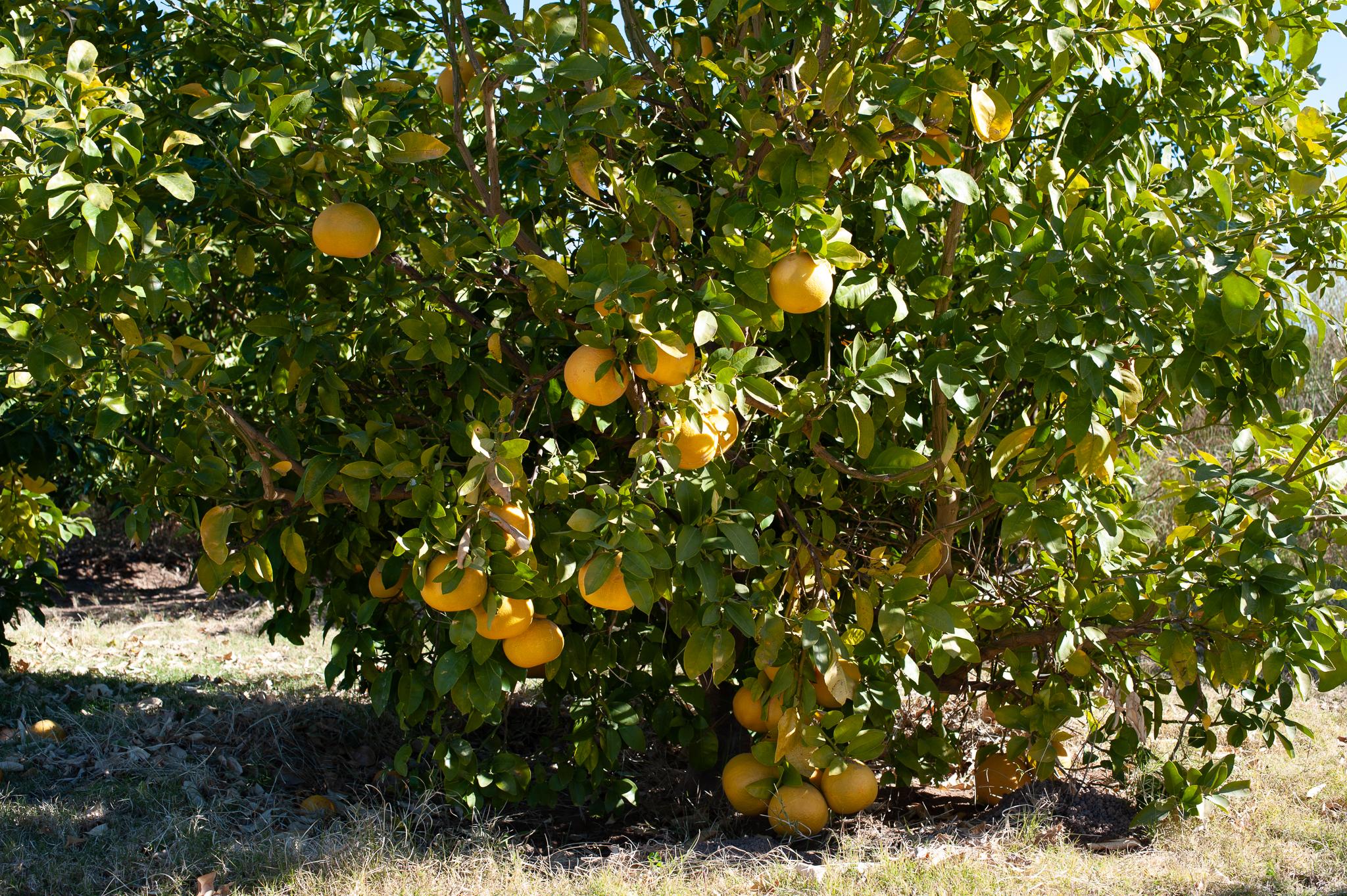 Lemons in the Learning Garden