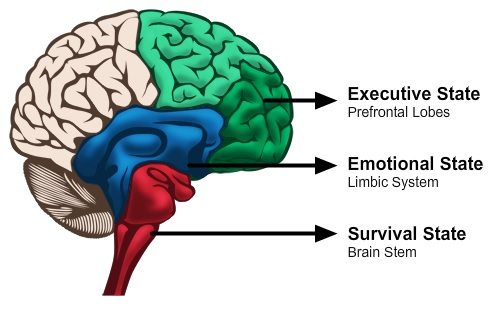 Brain sections Executive State (Prefrontal lobes) Emotional State (Limbic System) and Survival State (Brain stem)