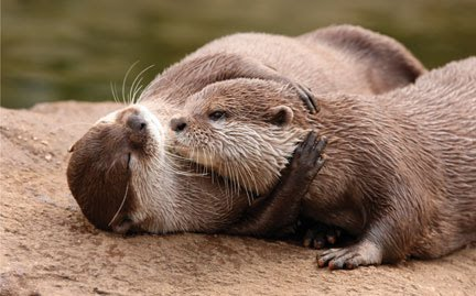 Otters Hugging